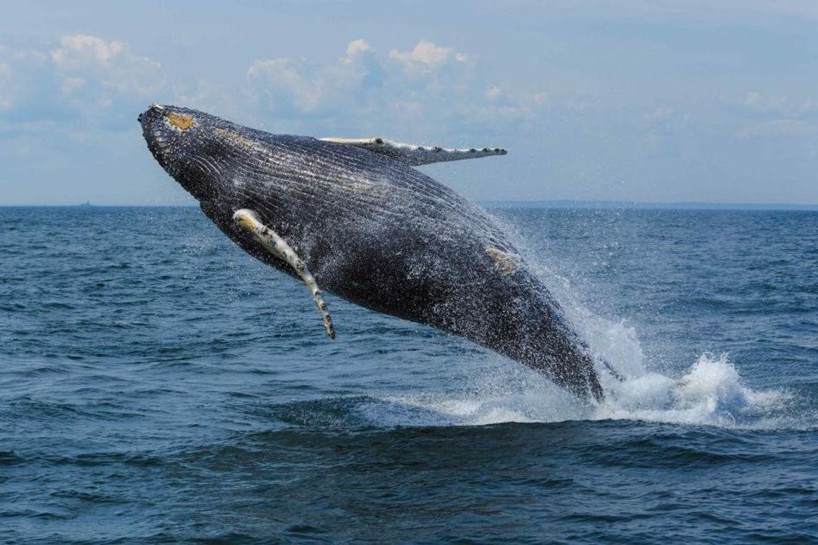 Je nach Jahreszeit können Besucher in der Bay of Fundy verschiedene Arten von Walen beobachten. Der ...