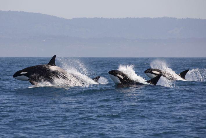 Orcas im nährstoffreichen Wasser vor Vancouver Island.