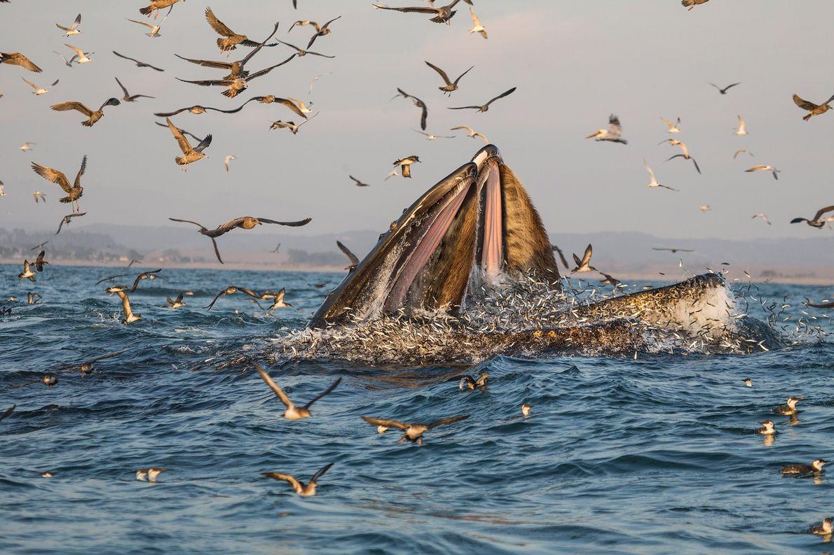 Wale bei der Jagd