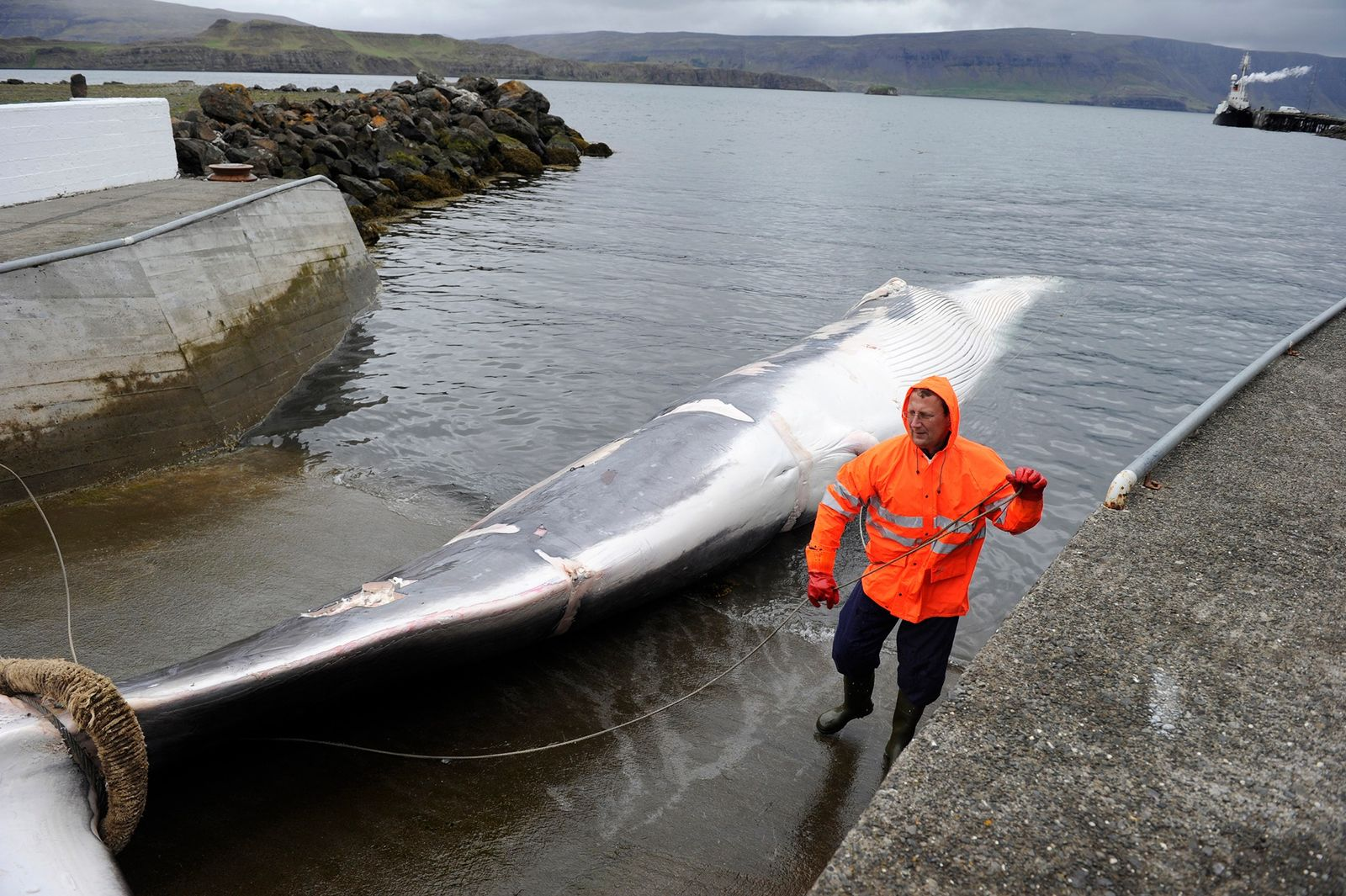 Der kommerzielle Walfang in Island ist am Ende