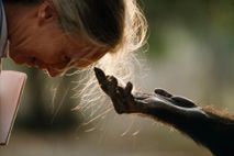 Das Schimpansenmännchen Jou Jou streckt die Hand aus, um National Geographic Explorer Jane Goodall zu begrüßen, ...