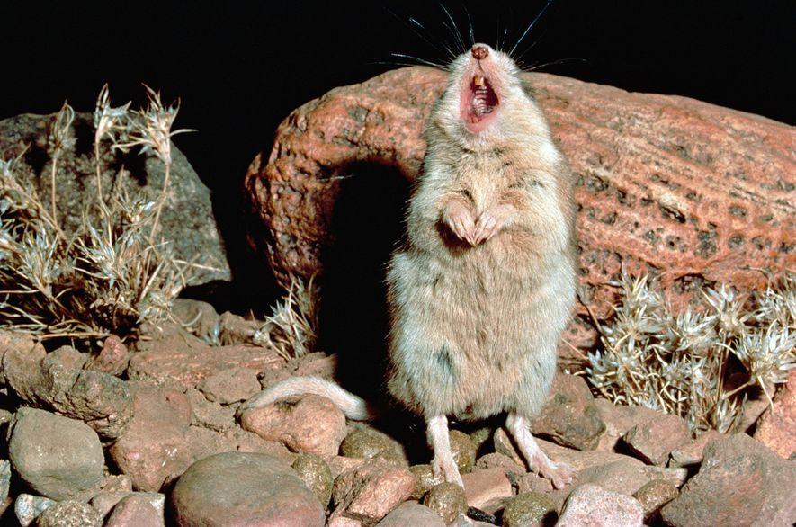 Eine Grashüpfermaus der Art Onychomys torridus singt in der Chihuahua-Wüste Mexikos.
