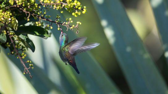 Ein Weißkinn-Saphirkolibri trinkt an einer Blüte. Diese Kolibri-Art ist in den nördliche Regionen Südamerikas beheimatet.