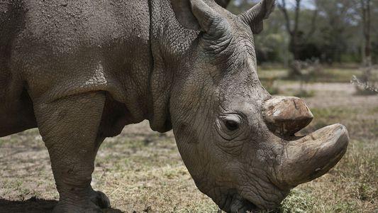 Gedenkzeremonie für Nashornbullen Sudan