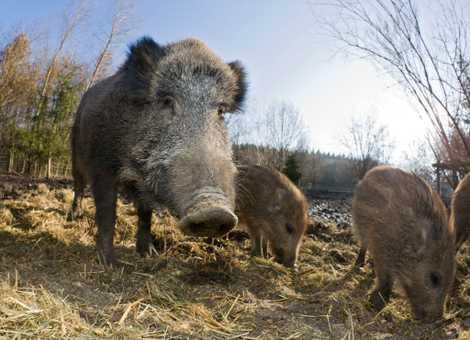 Saubere Schweinerei: Auch Schweine waschen ihr Essen