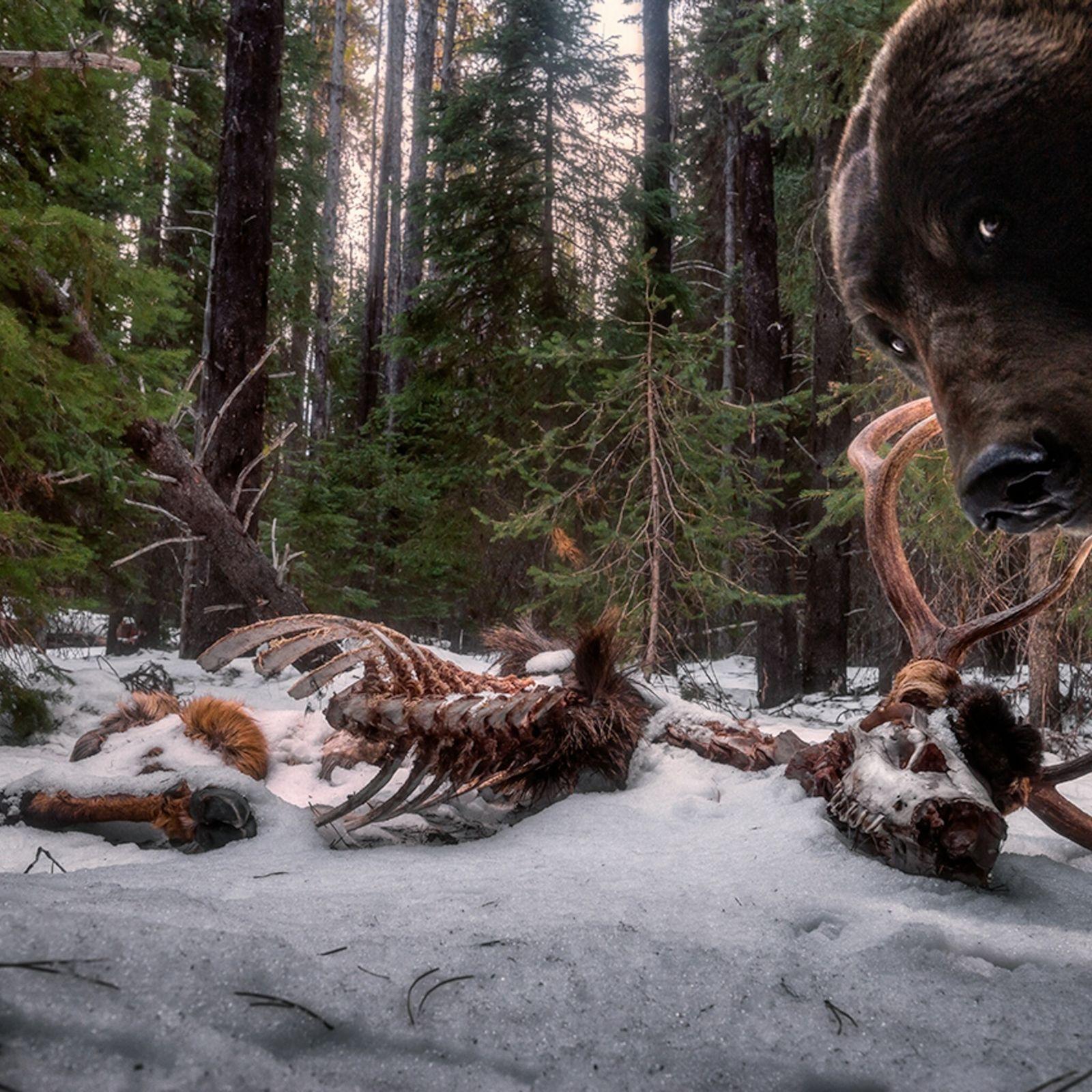 Als der amerikanische Fotograf Zak Clothier die Kamerafalle überprüfen wollte, die er in Montana neben dem ...