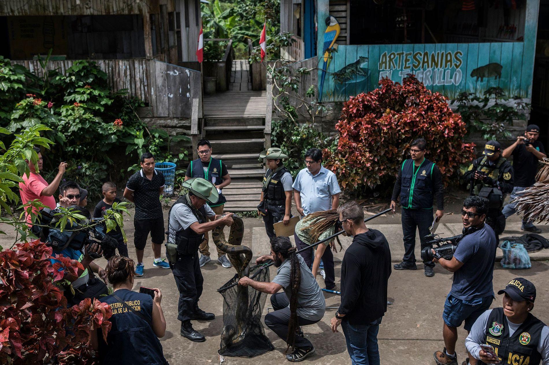 Unter den Augen der Polizei und Bewohnern von Puerto Alegría verpacken Wildtierexperten eine drei Meter lange ...
