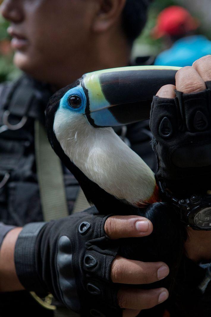 Dieser Tukan ist einer von 14 geretteten Vögeln, darunter auch Hellrote Aras und andere Papageien. Alle ...