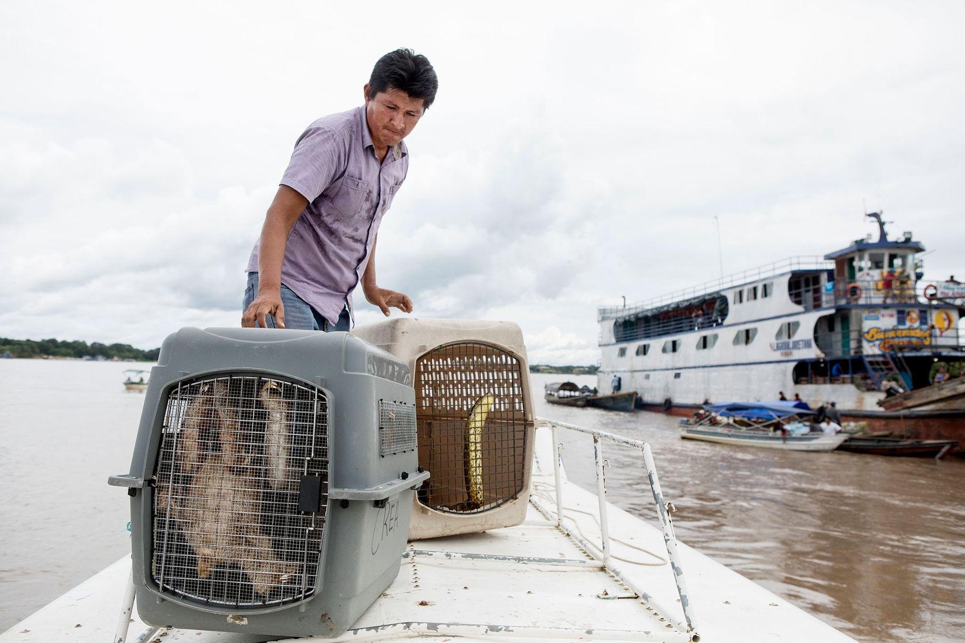 Ein Tierarzt lädt zwei Faultiere und die Anakonda aufs Boot. Die Behörden brachten die 22 Tiere ...
