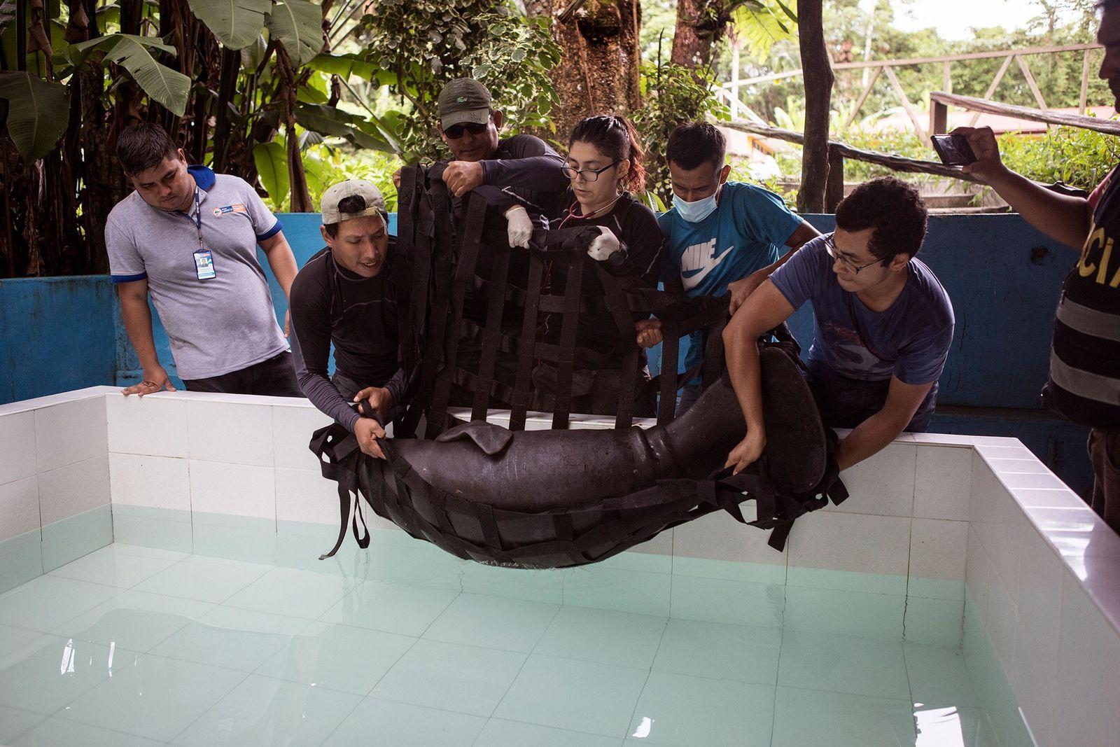 Im Centro de Rescate Amazonico, einer Auffangstation für Wildtiere in Iquitos, lassen Tierärzte das gerettete Manati ...