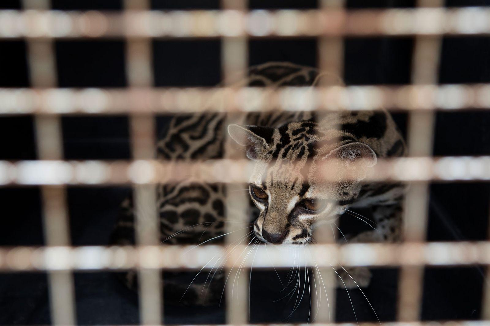 Eine Langschwanzkatze schaut aus ihrer Transportbox. Das Tier wurde untergewichtig und mit kahlen Stellen aufgefunden. Die ...