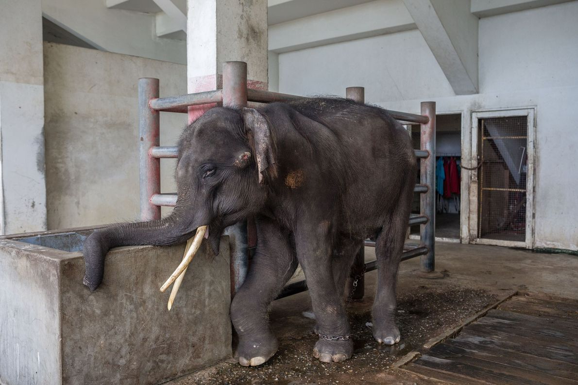 Elefant Gluay Hom