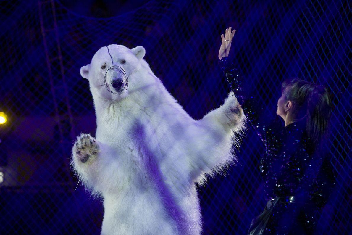 Tierleid zugunsten menschlicher Unterhaltung: Hinter einem Netz führt ein Eisbär im Circus on Ice im russischen ...