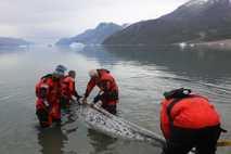 Wissenschaftler messen die Länge eines ausgewachsenen Narwals im Zuge einer Studie zur Reaktion der Tiere auf ...