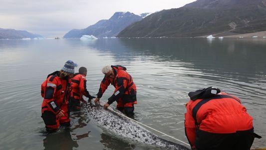 Herzfrequenzmessungen bei Narwalen offenbaren Gefahr menschlicher Begegnungen