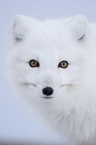 Auf einer Wintersafari in Kanada können Besucher zahlreiche Wildtiere beobachten, darunter auch Elche, Wölfe, Polarfüchse, Adler ...