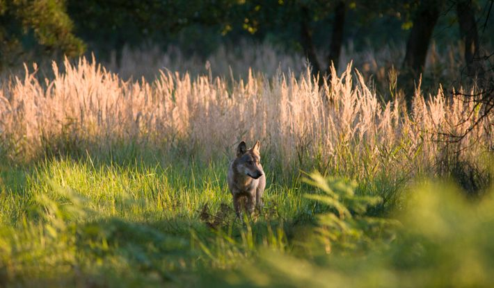 Bislang sind in Deutschland nur drei Fälle von Mischlingen zwischen Wölfen (Foto) und Haushunden belegt.
