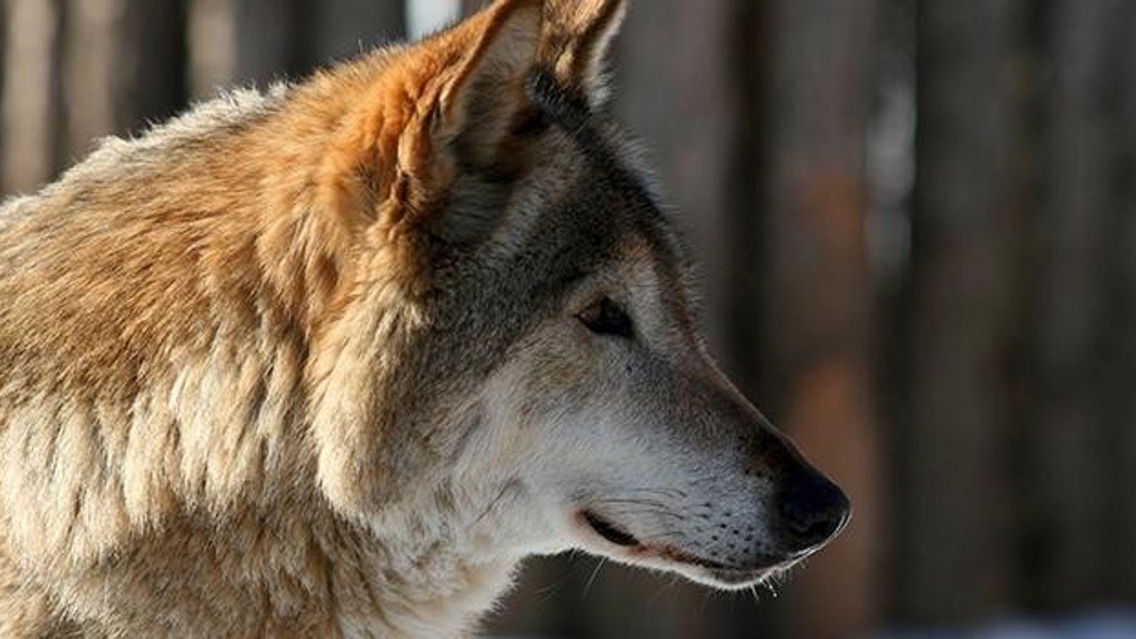wolf-32273