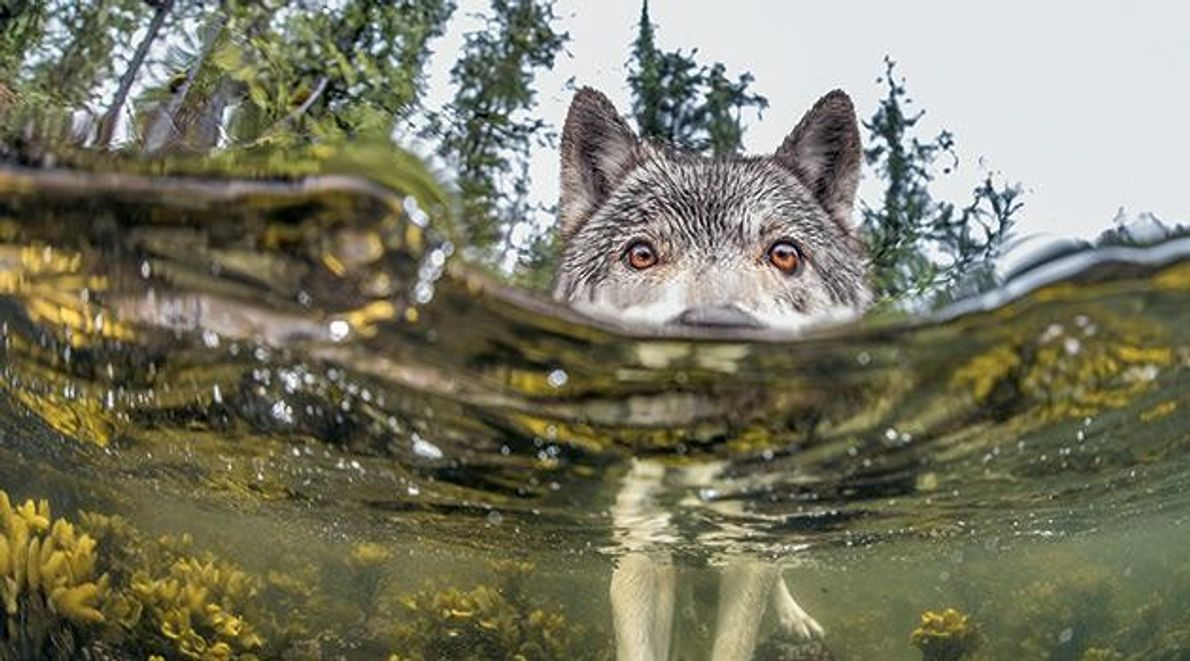 Wölfe - Der mit dem Lachs tanzt
