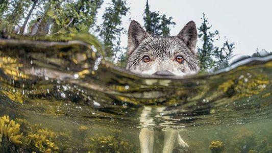 Galerie: Wölfe - Der mit dem Lachs tanzt