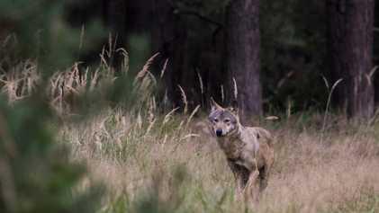 Wie erkennt man Wolf-Hund-Mischlinge?