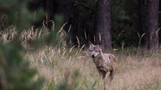 Seit mehr als 20 Jahren gibt es wieder wildlebende Wölfe in Deutschland.