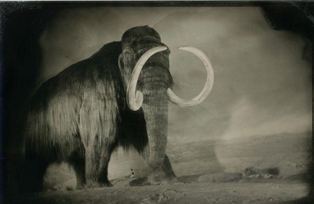 Das letzte Wollhaarmammut hat vermutlich vor rund 4000 Jahren gelebt. In Museen sind naturnahe Nachbildungen zu …