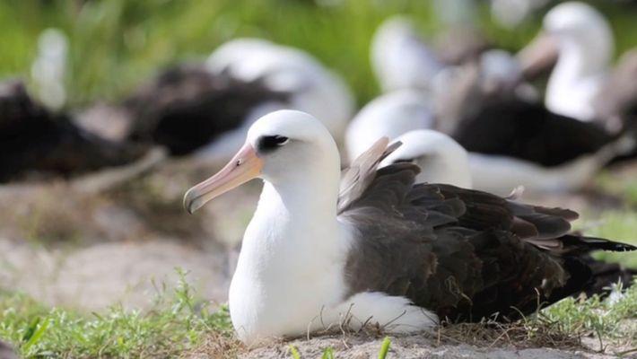 Ältester bekannter Wildvogel der Welt legt Ei mit 67
