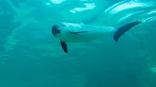 Einer der kleinsten Wale überhaupt: Der Gewöhnliche Schweinswal (Phocoena phocoena) wird maximal zwei Meter lang.