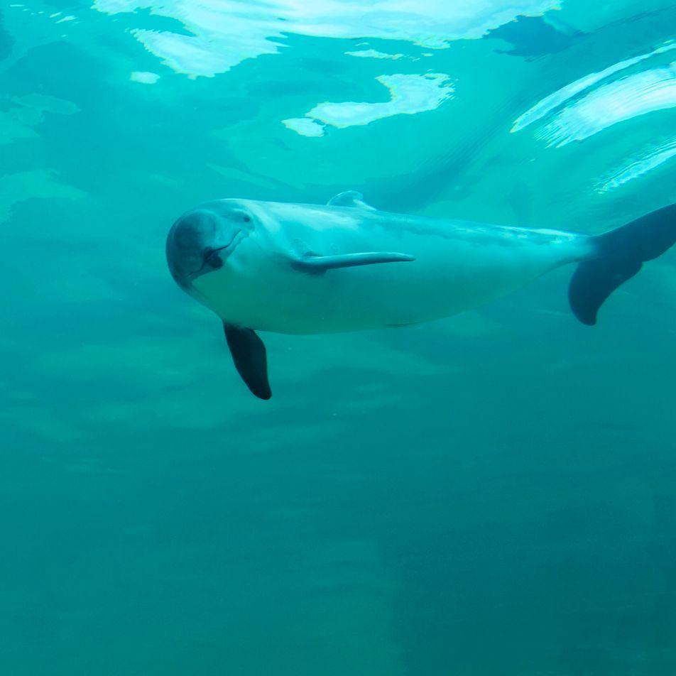 Schweinswale in Deutschland: Kleiner Meeressäuger in großer Not
