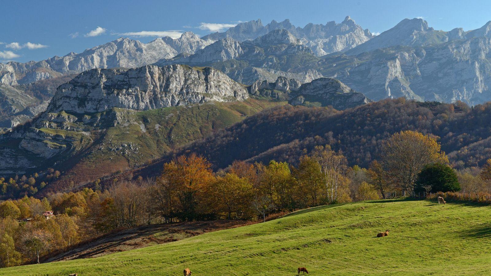 Rinder grasen auf den hochgelegenen Weiden des Naturparks Ponga mit Blick auf die Bergkette Picos de ...