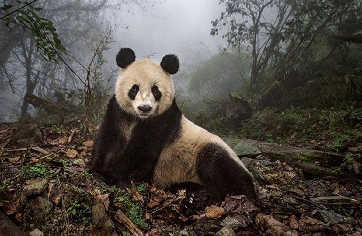 Die Pandabärin Ye Ye lässt sich in einem Wildgehege des Naturreservats Wolong fotografieren. Sie wurde von …