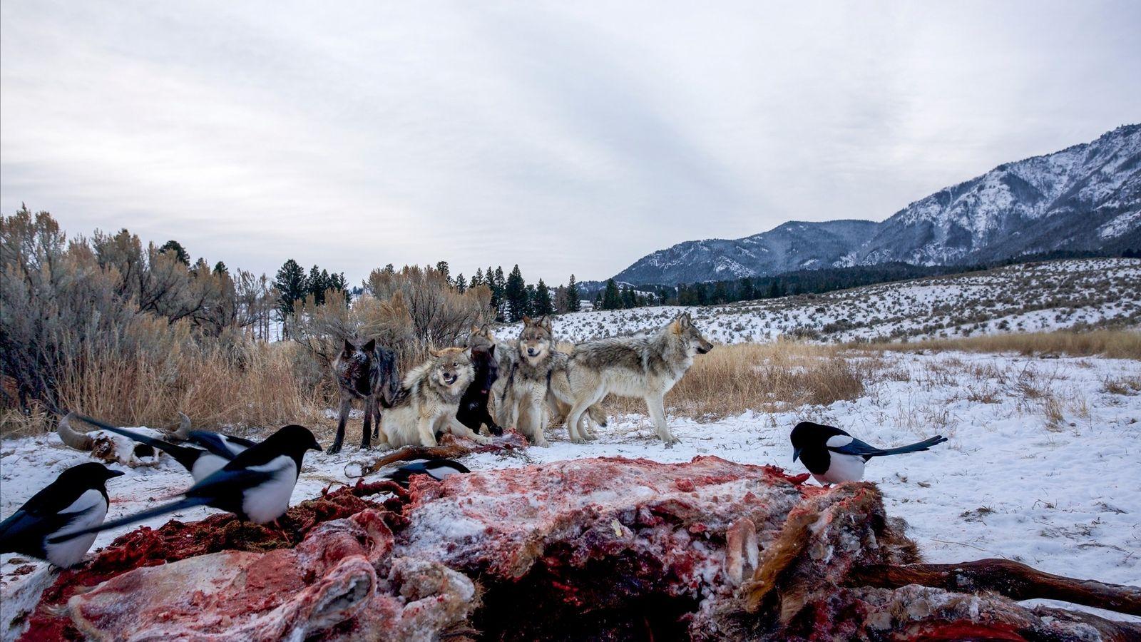 Wölfe und Elstern fallen über die entsorgten Kadaver her, die Jäger im Yellowstone-Nationalpark zurücklassen.
