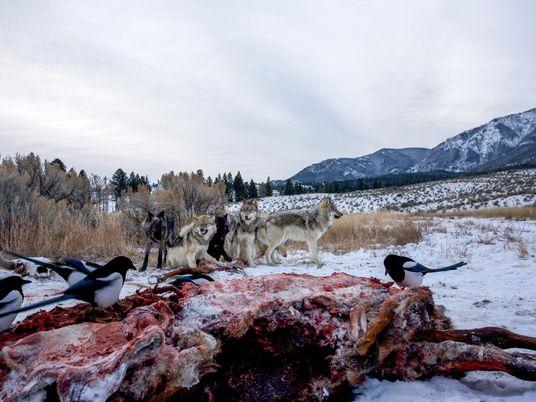 Wölfe: Die Super-Ökologen des Yellowstone