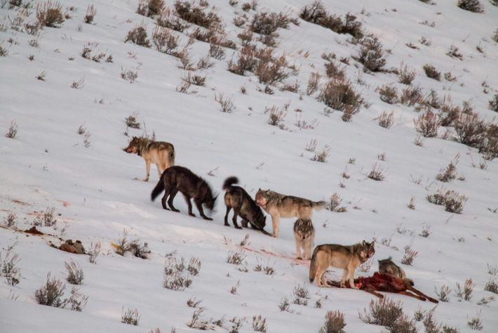 Wölfe des Junction Butte-Rudels fressen einen Hirsch im Lamar Valley im Yellowstone-Nationalpark.