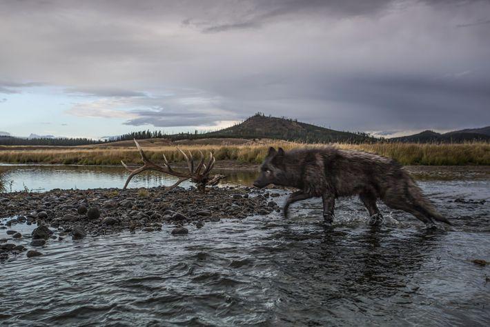 Ein Wolf läuft in eine Kamerafalle im Yellowstone. Zwischen 300 und 350 der Raubtiere leben heute ...