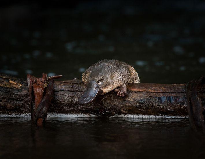 Ein junges Schnabeltier wurde gerade auf einen Baumstamm im McMahons Creek im Bundesstaat Victoria ausgesetzt.