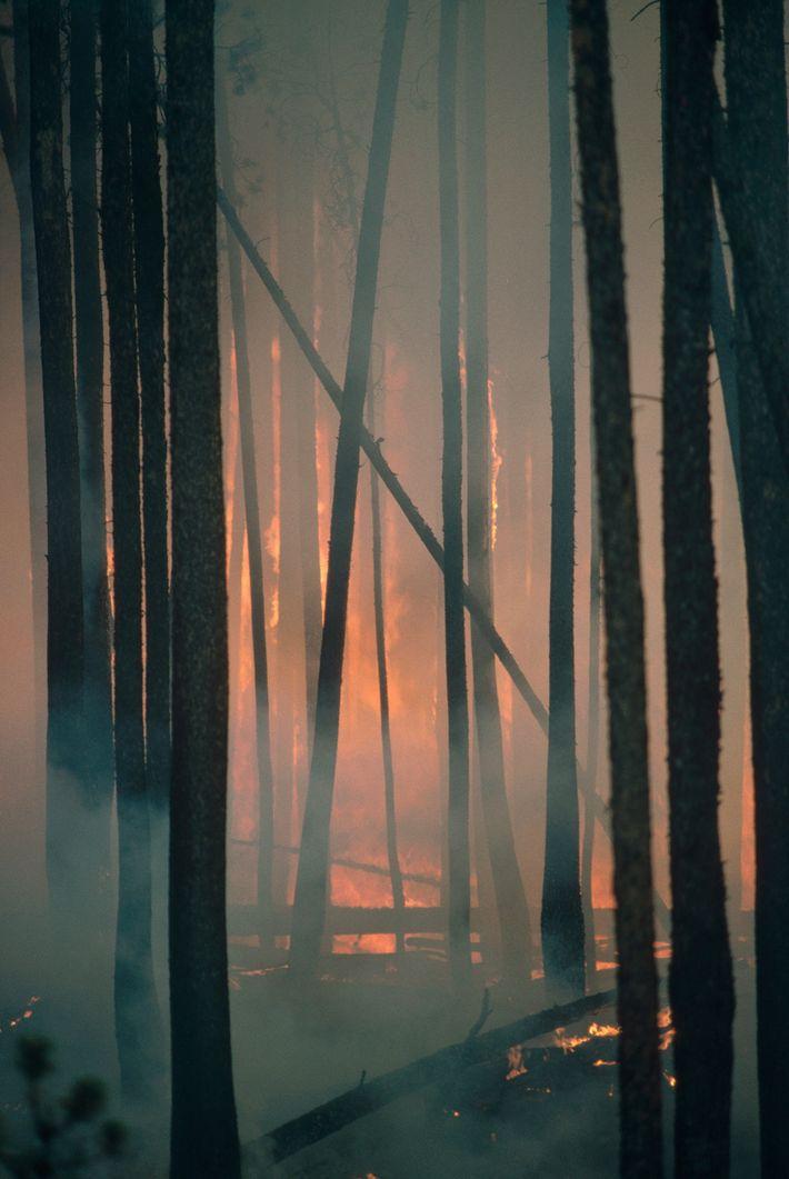 Im Yellowstone-Nationalpark brennt ein Wald aus Küsten-Kiefern.