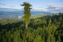 Der größte verbleibende Mammutbaum-Primärwald befindet sich im Humboldt Redwoods State Park in Kalifornien. Die größten Bäume ...