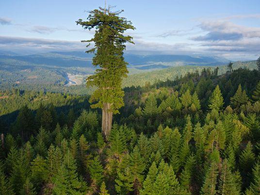 Weltweit sterben alte Baumriesen – und verändern Klima und Ökosysteme