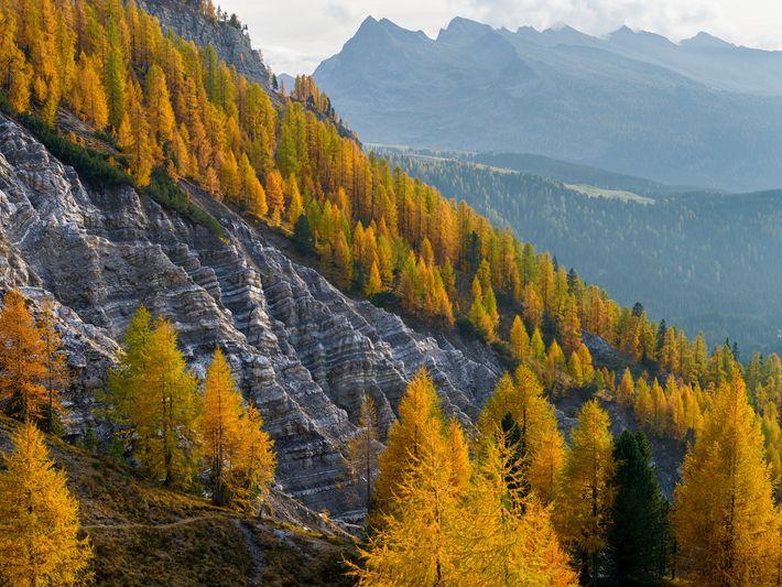 Auf Bergflanken der Dolomiten wachsen Goldlärchen. Weltweit sterben große, alte Bäume schneller ab als gedacht.