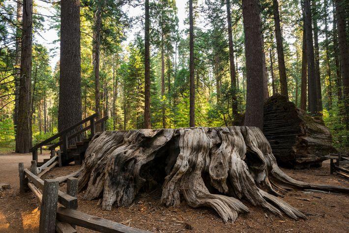 Der Stumpf eines Riesenmammutbaums namens Discovery Tree steht im Calaveras Big Trees State Park.