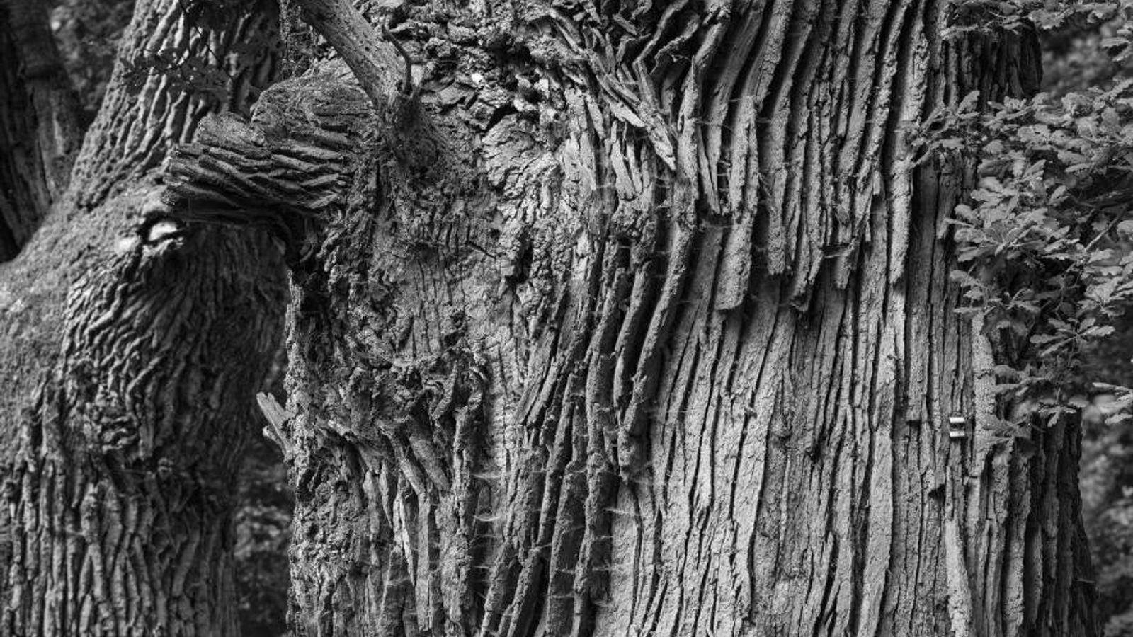 Diese Eichen in Westdeutschland sind vermutlich um die 1.000 Jahre alt. Alte Bäume wie diese sterben ...
