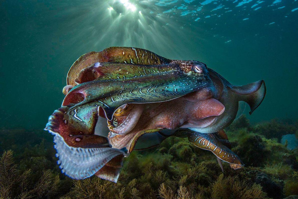 AUSTRALIEN: Ein Lichtschein betont die Farben und Texturen dieses Echten Tintenfischs. Tausende dieser Tiere versammeln sich ...