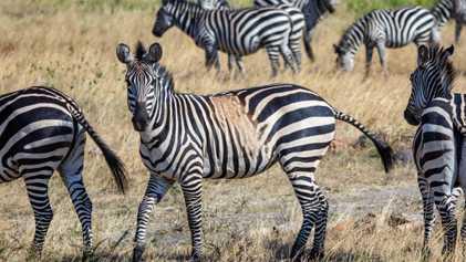 Anomale Fellfarben verheißen nichts Gutes für die Zukunft der Zebras
