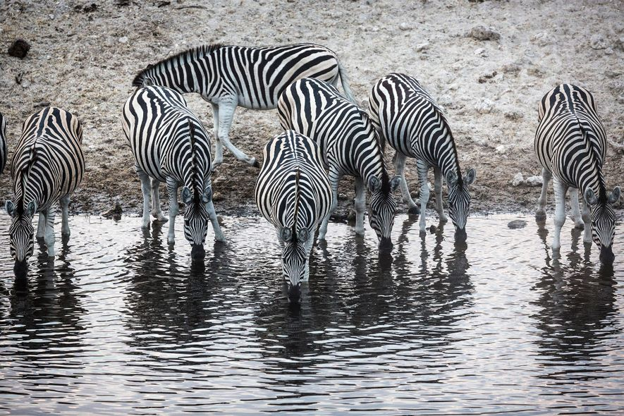 Größte Säugetierwanderung Afrikas nach Jahrzehnten wiederbelebt