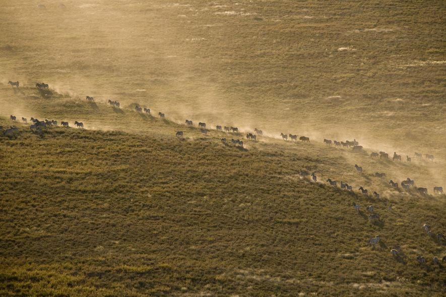 Eine Herde Zebras wirbelt bei ihrer Wanderung durch die Makgadikgadi-Salzpfannen Staub auf.