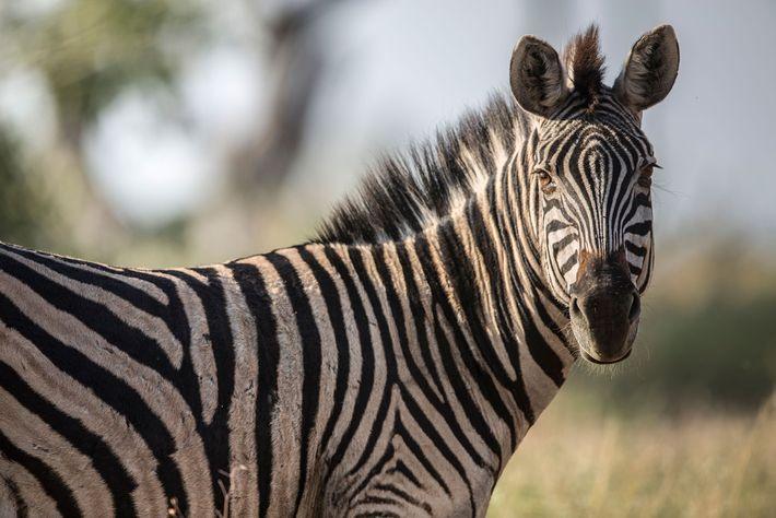 Ein Zebra blickt in Botswana zu einem Fotografen.