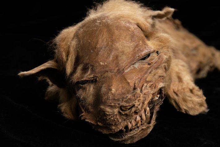 Die junge Wölfin Zhur ist so gut erhalten, dass die Wissenschaftler sowohl den Körper als auch ...
