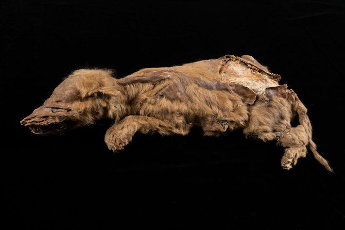 Die kleine Wölfin starb mit gerade einmal sieben Wochen. Sie gehörte zu einer Population, die sich ...